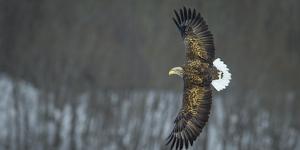 White Tailed Sea Eagle (Haliaeetus Albicilla) in Flight, Hokkaido, Japan, March by Wim van den Heever
