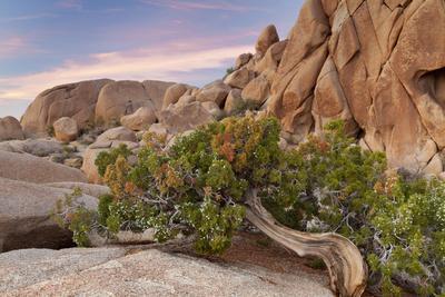 https://imgc.allpostersimages.com/img/posters/wind-blown-juniper-tree-joshua-tree-national-park-california-usa_u-L-PN6WEJ0.jpg?artPerspective=n