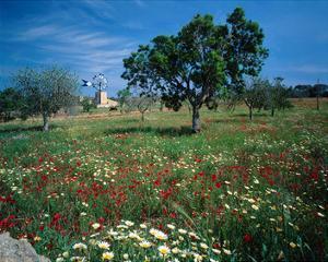 Windmill flower meadow Majorca