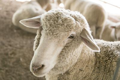 https://imgc.allpostersimages.com/img/posters/window-rock-arizona-usa-navajo-nation-portrait-of-sheep_u-L-Q1D08S00.jpg?p=0