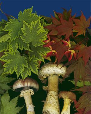 Wine caps wild Mushrooms