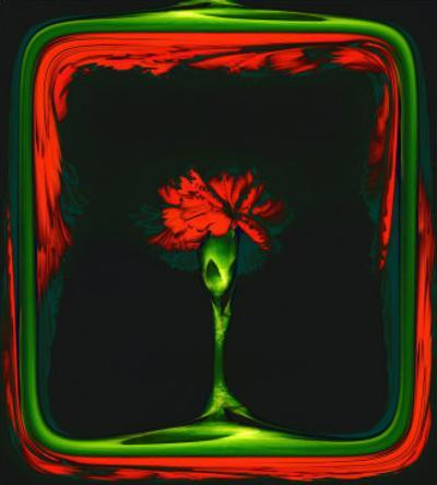 Red Carnation Formalized in a Frame