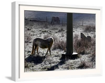 Pferde Im Winterfell Grasen Auf Einer Raureifueberzogenen Weide Am Titisee