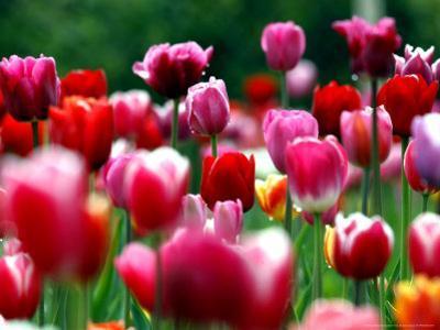 Rain Drops Twinkle on Blooming Tulips on a Field near Freiburg, Germany