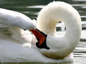 Swan on the river Rhine near Breisach, Germany by Winfried Rothermel