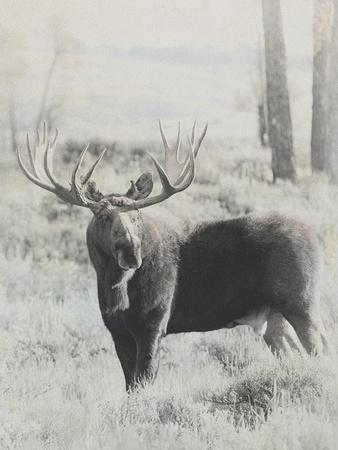 Bull Moose - Vintage