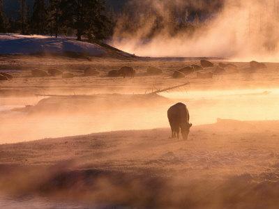 https://imgc.allpostersimages.com/img/posters/winter-bison-bison-bison-yellowstone-national-park-wyoming-usa_u-L-P3SDZH0.jpg?p=0