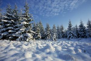Winter Landscape with Spruce Woodland and Snow