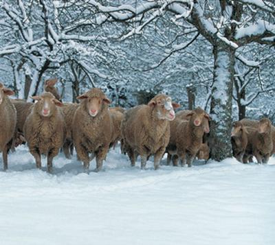 Winter Sheeps