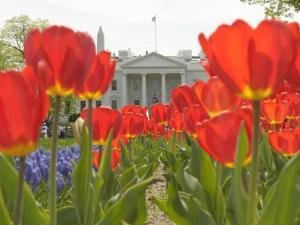 With the White House in the Background, Blooming Tulips in Lafayette Park Frame the White House
