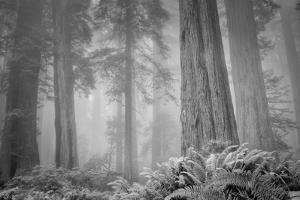 Within a Misty Grove, California Redwoods