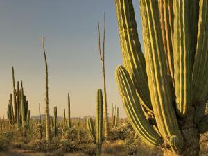 Cirio Trees and Cardon Cacti Near Catavina by Witold Skrypczak