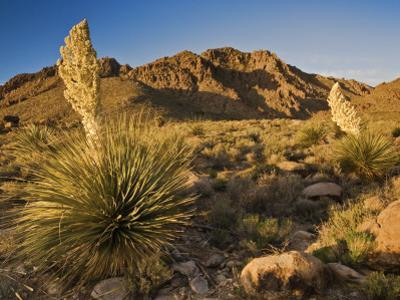 Parrys Beargrass in Springtime Bloom in Kingston Range Mountains of Mojave Desert