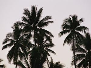 A Contrasty View of Silhouetted Palm Trees by Wolcott Henry