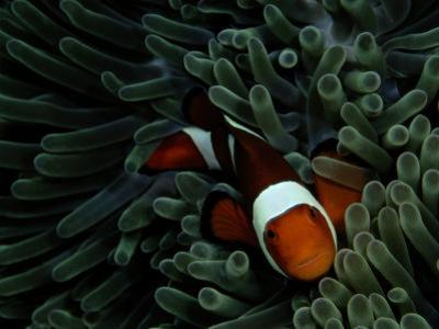 A False Clown Anemonefish Floats Through Sea Anemone Tentacles