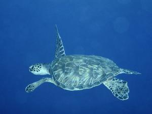 A Lone Sea Turtle Swims Through the Water by Wolcott Henry