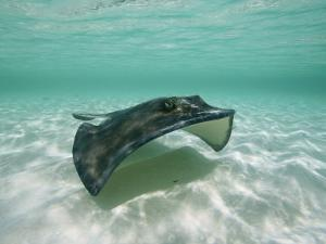 A Southern Stingray Glides Gracefully Through Pristine Water by Wolcott Henry