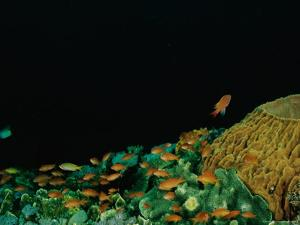 A Variety of Fish Swim Around Corals and Sponges in a Reef by Wolcott Henry