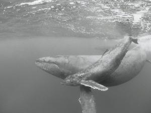 An Adult and Juvenile Humpback Whale Glide Through the Water by Wolcott Henry