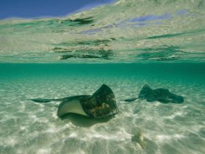 Aquatic Split-Level View of Two Southern Stingrays in Clear Water by Wolcott Henry