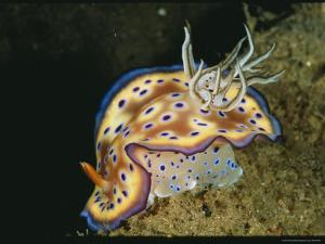 Close View of a Colorful Chromodoris Kuniei Nudibranch by Wolcott Henry