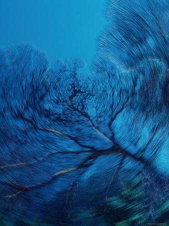 Panned View of a Large Sea Fan