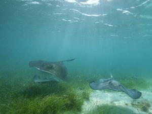 Southern Stingrays Glide Gracefully Through Pristine Waters by Wolcott Henry