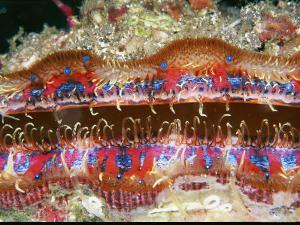 Tiny Blue Eyes Line the Edge of a Scallop's Mantle by Wolcott Henry