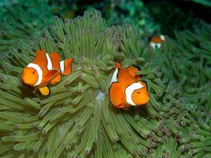 Western Clown Anemonefish Swim Among the Tentacles of a Magnificent Sea Anemone by Wolcott Henry