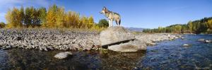 Wolf Standing on a Rock at the Riverbank, US Glacier National Park, Montana, USA
