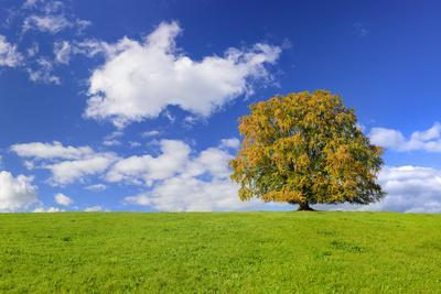 Big Beech on the Meadow as a Single Tree in the Allgau