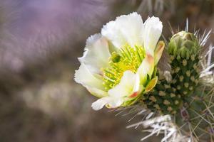 Blooming Desert Cactus by wollertz