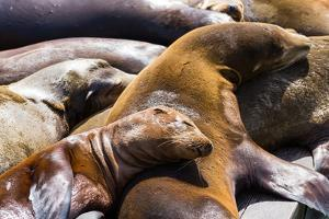 Group of California Sea Lions Sun Bathing on the Floating Docks in San Francisco by wollertz