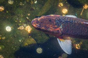 Koi Fish by wollertz