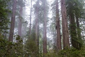 Redwood Trees by wollertz