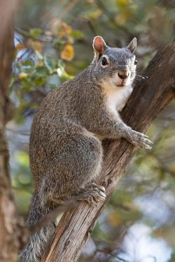 Silver - Gray Squirrel by wollertz