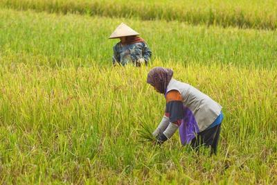 https://imgc.allpostersimages.com/img/posters/women-in-conical-hat-and-scarf-working-in-rice-field-in-this-rural-area-west-of-pangandaran_u-L-PQ8RQZ0.jpg?p=0