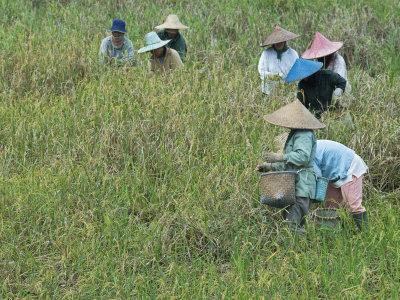 https://imgc.allpostersimages.com/img/posters/women-picking-rice-serian-sarawak-malaysian-borneo-malaysia-southeast-asia-asia_u-L-P91HE70.jpg?p=0