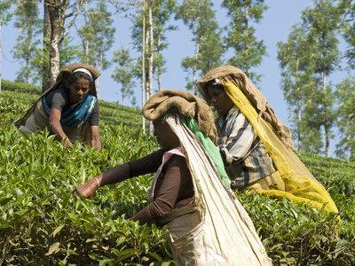 https://imgc.allpostersimages.com/img/posters/women-picking-tea-vythiri-wayanard-district-kerala-india-asia_u-L-P91HF30.jpg?artPerspective=n