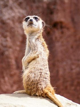 African Meerkat Animal by Wonderful Dream