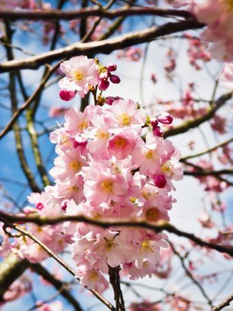 Asia Cherry Blossom by Wonderful Dream