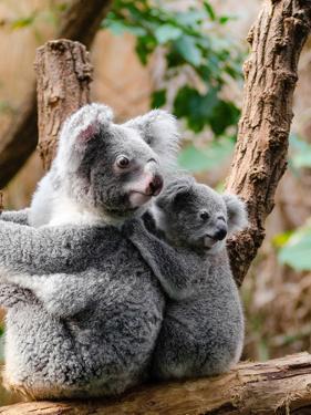 Australian Koala Bear Animal by Wonderful Dream