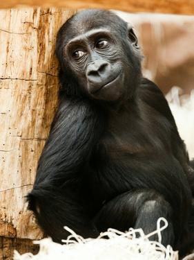 Baby Monkey Ape Animal by Wonderful Dream
