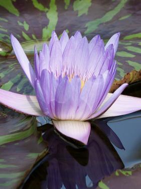 Blue Asia Lotus Flower by Wonderful Dream