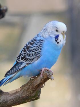 Blue Budgie Bird Parrot by Wonderful Dream