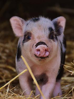 Farm Animal Pig by Wonderful Dream