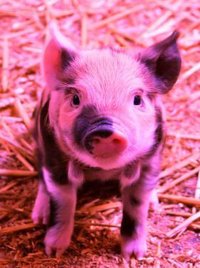 Funky Pig Piglet Farm by Wonderful Dream