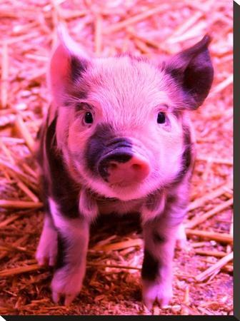 Funky Pig Piglet Farm by Wonderful Dream