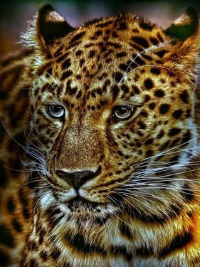 Gepard Leopard Cat Wildlife by Wonderful Dream
