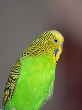Green Budgie Bird Parrot by Wonderful Dream